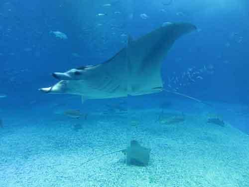 沖縄本部町のオススメは、フクギの並木、美ら海水族館、そしてエメラルドビーチ
