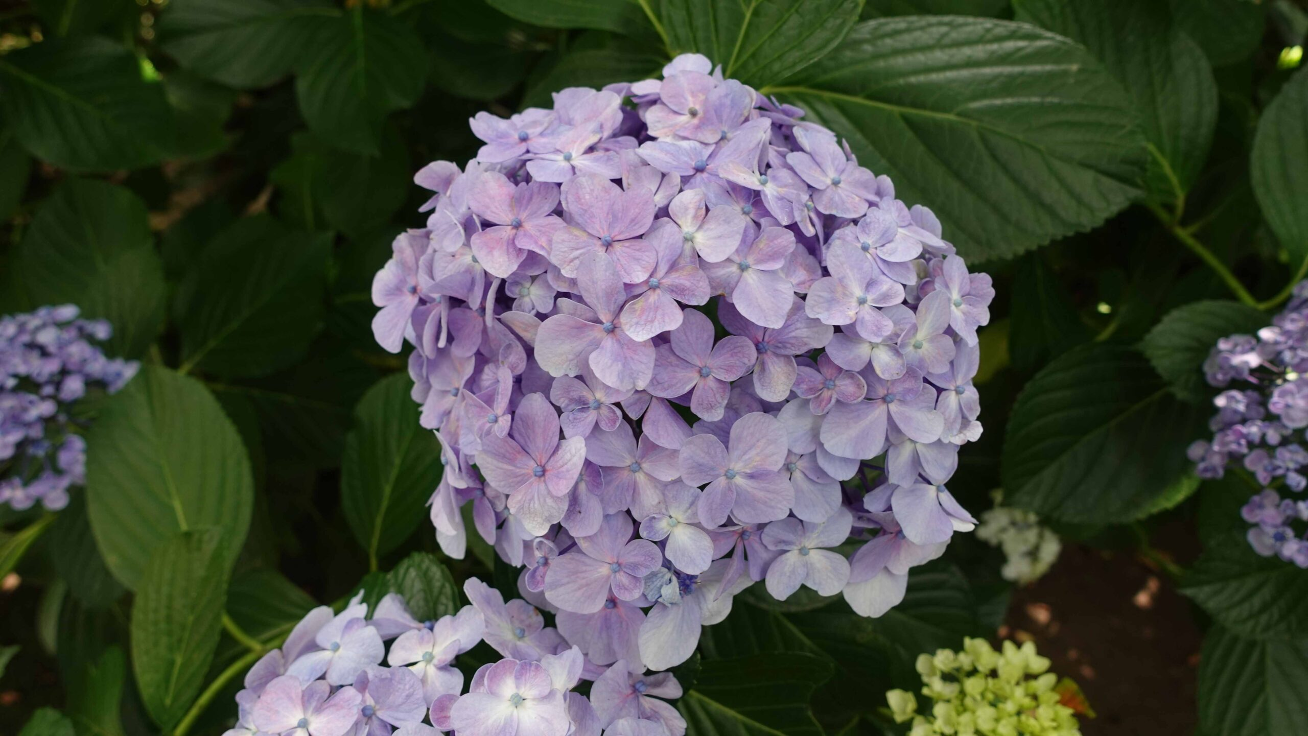 極楽寺 紫陽花 紫
