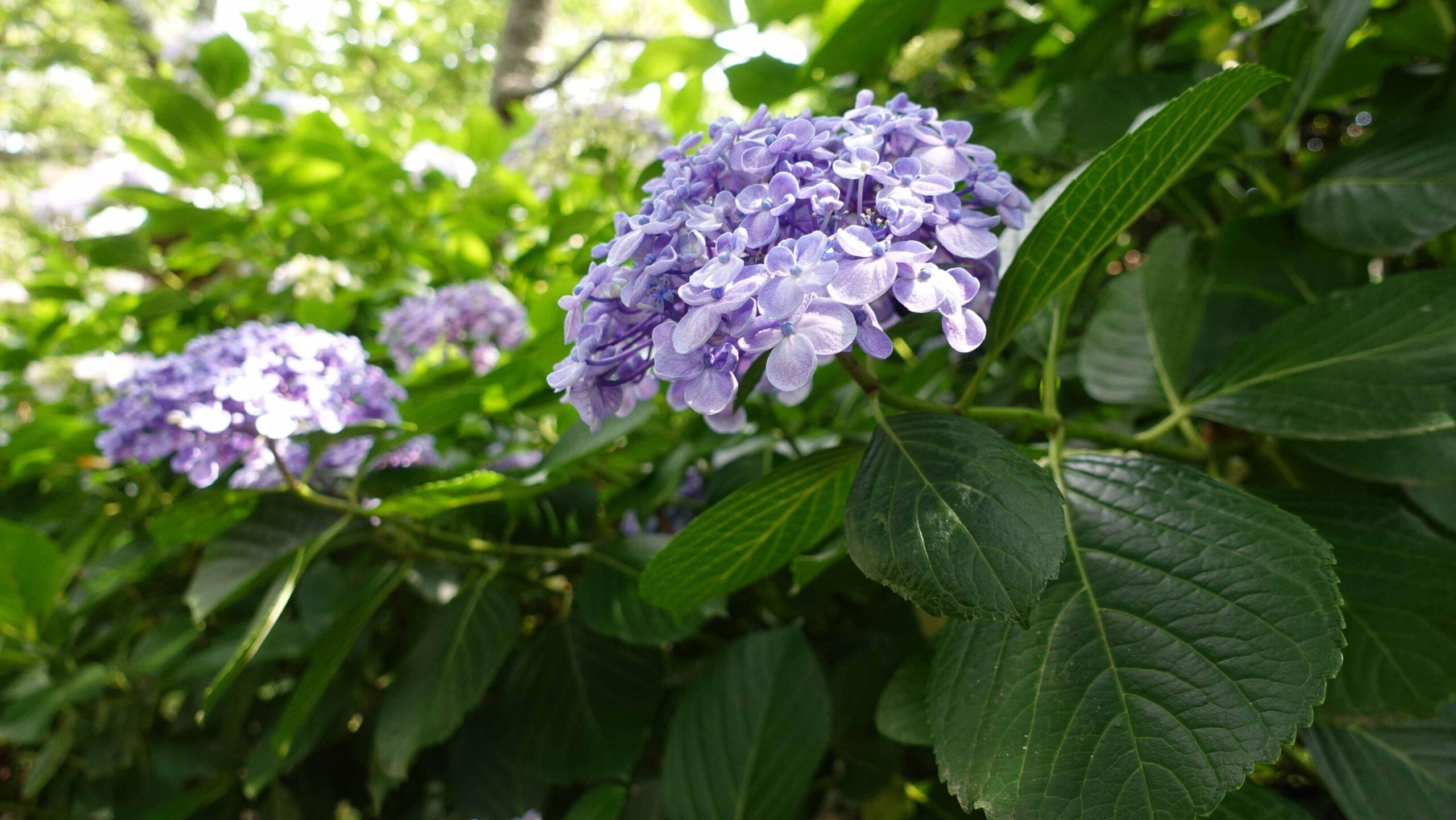 極楽寺 紫陽花 紫 横