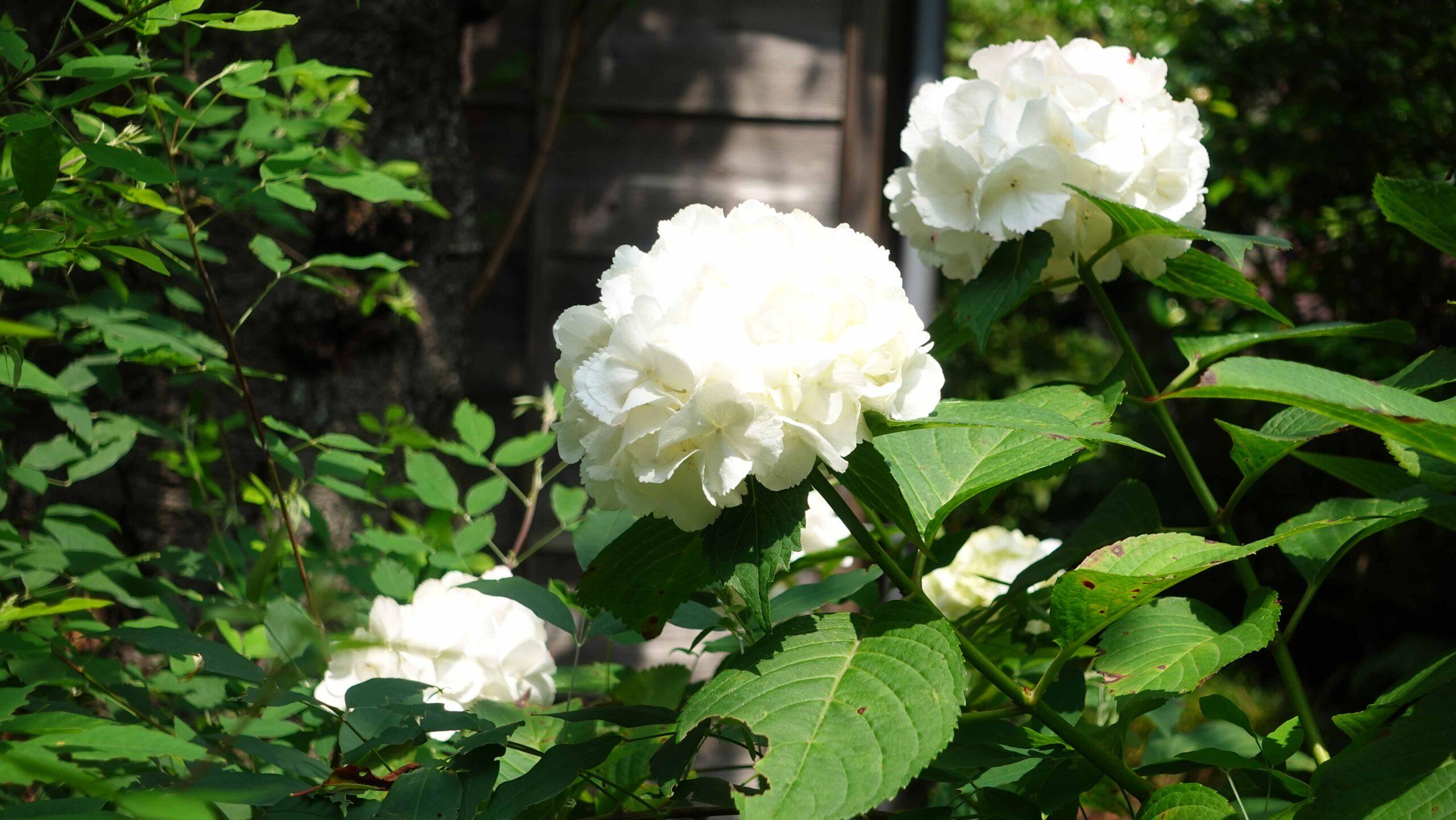 極楽寺 紫陽花 群 白 横