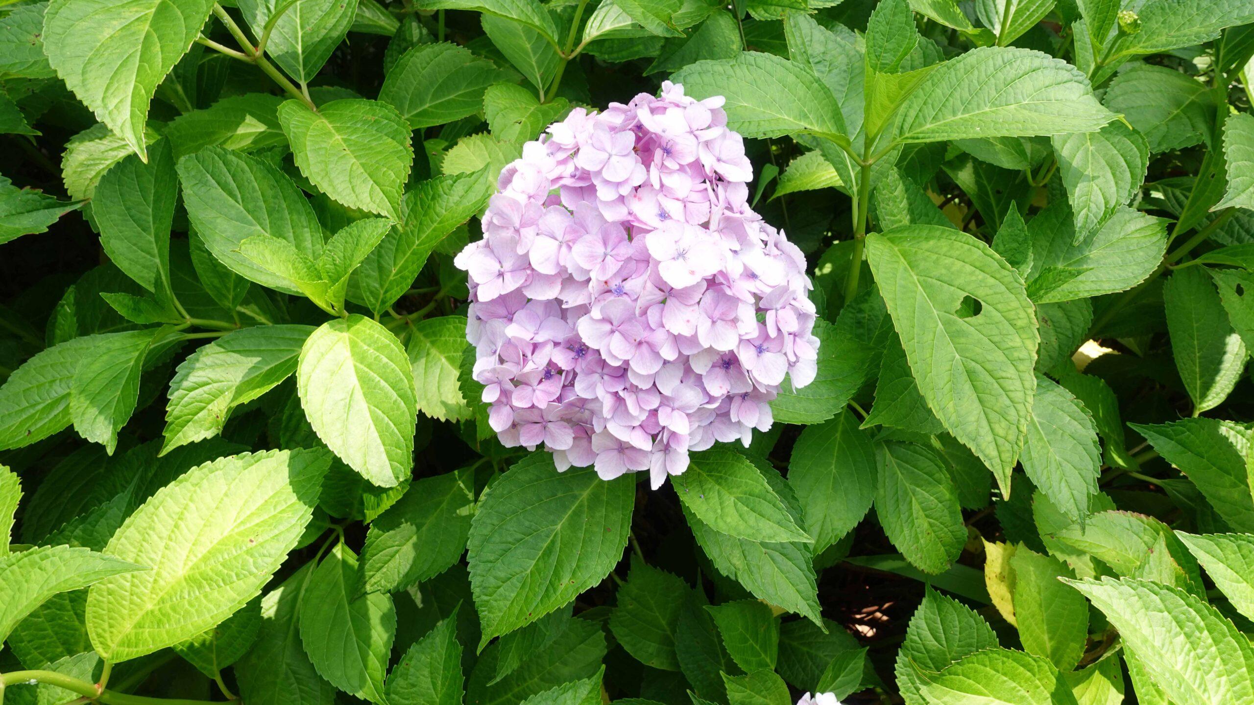 御霊神社 紫陽花 パープル