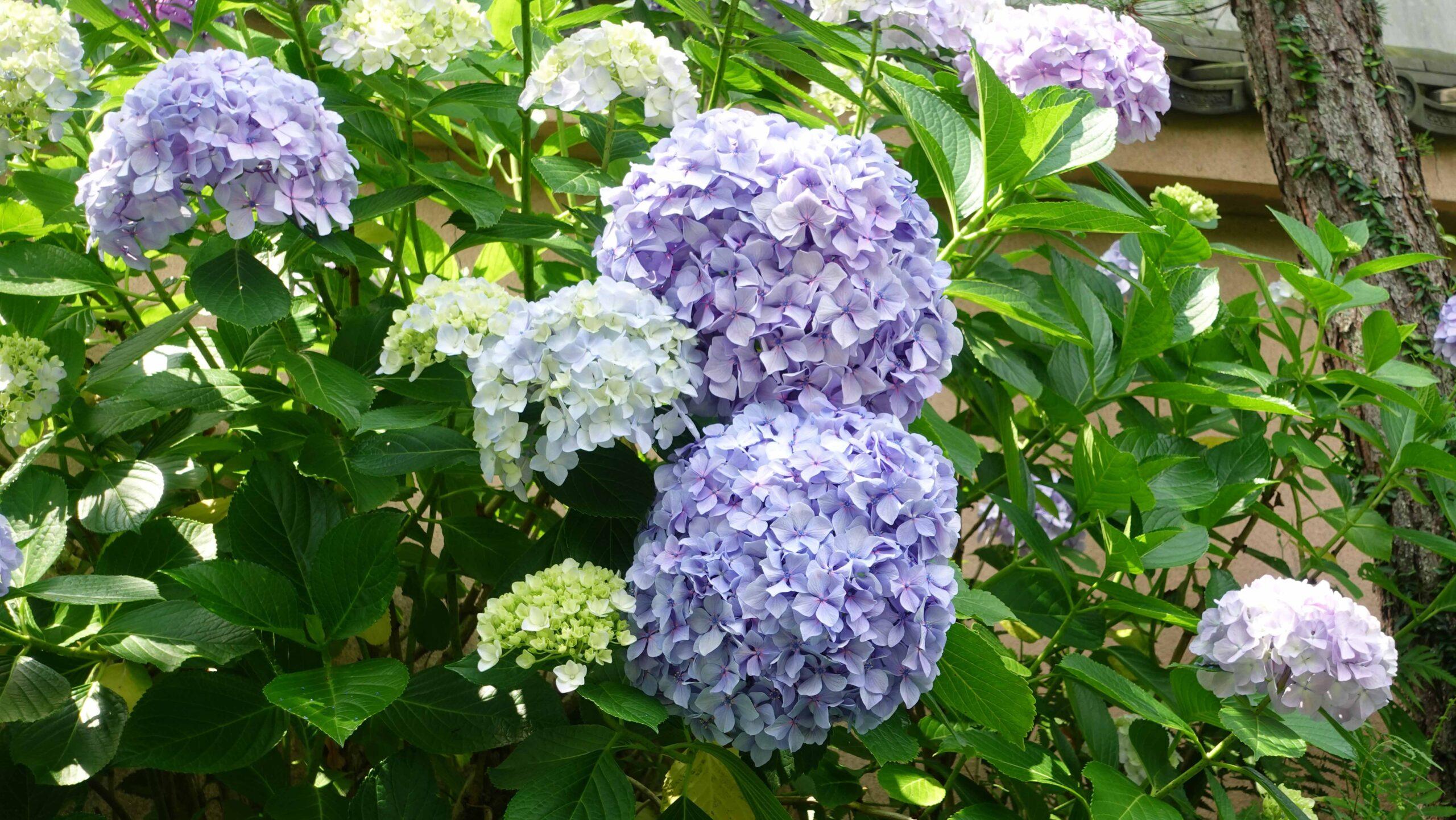成就院 紫陽花 ブルー 02