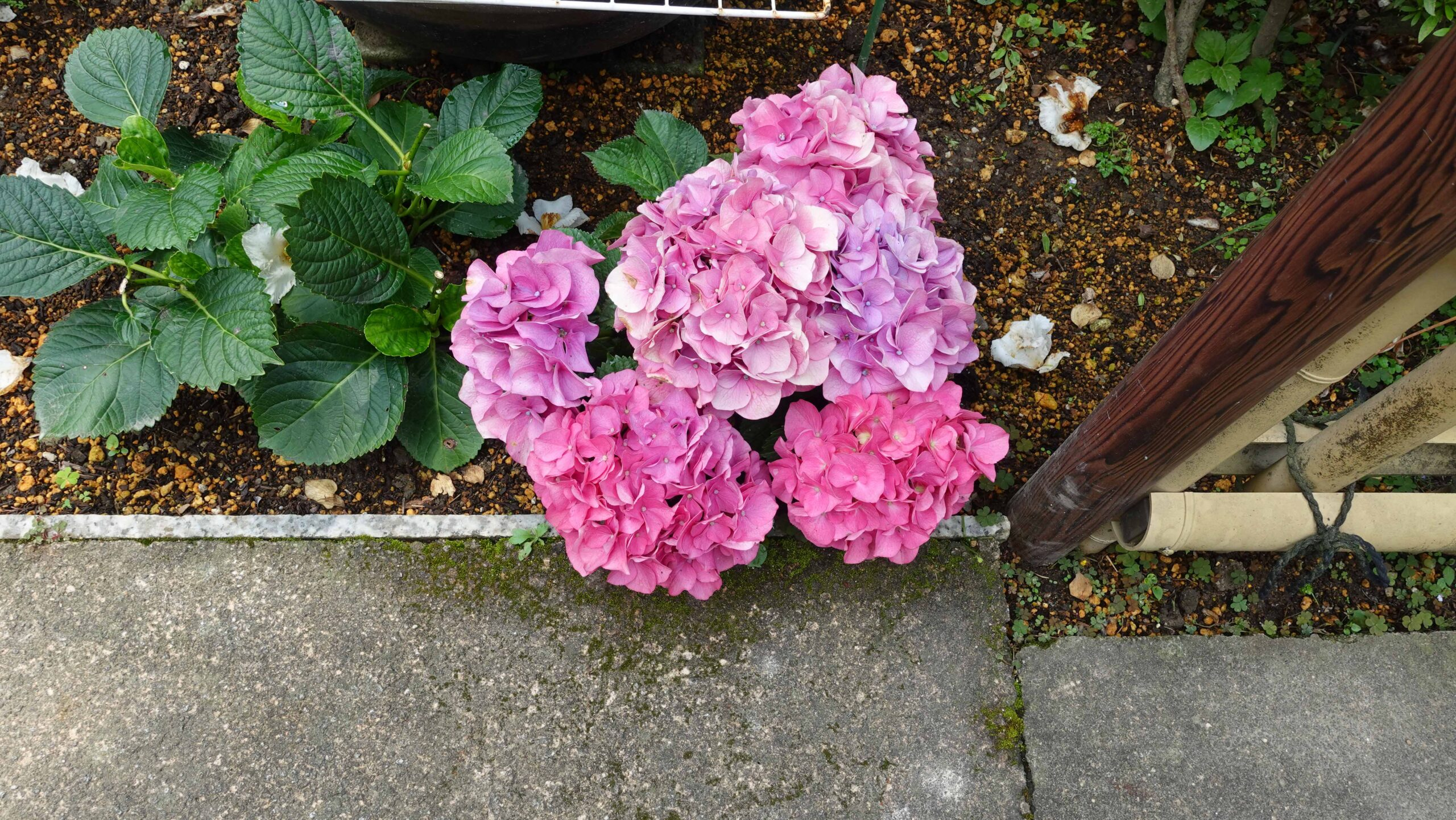 成就院 紫陽花 ピンク