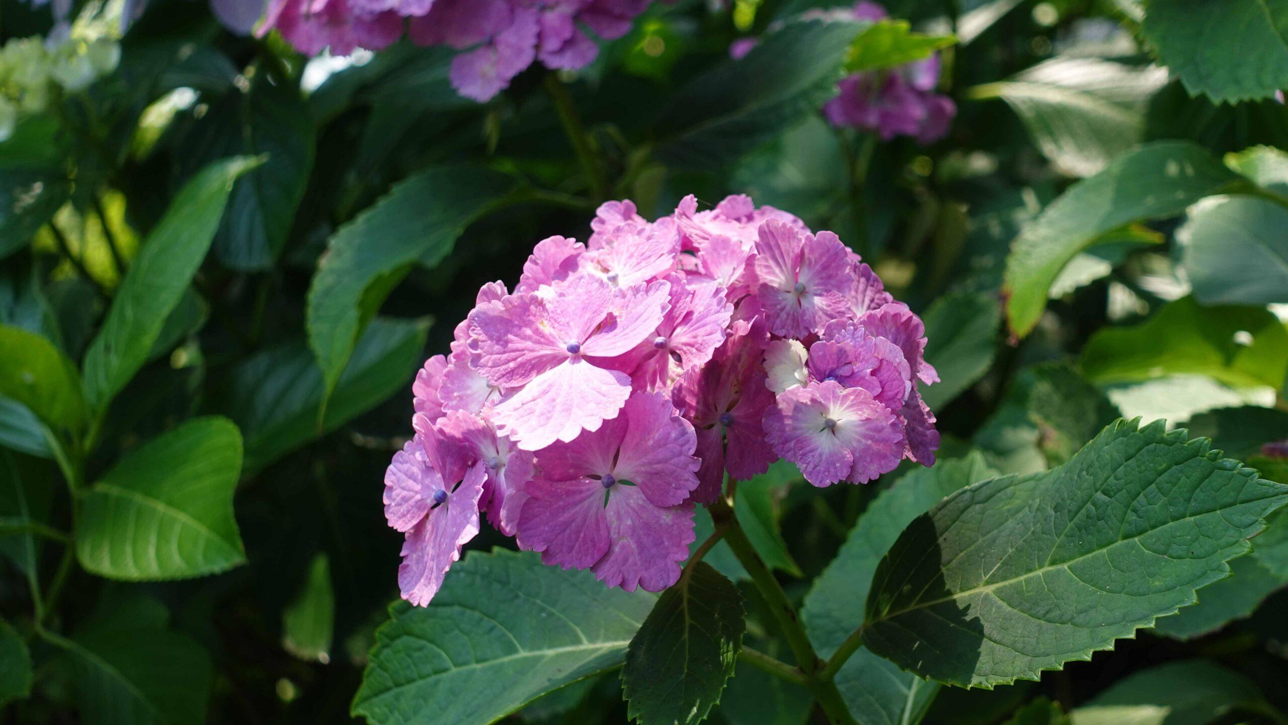 長谷寺 紫陽花 1輪 赤紫