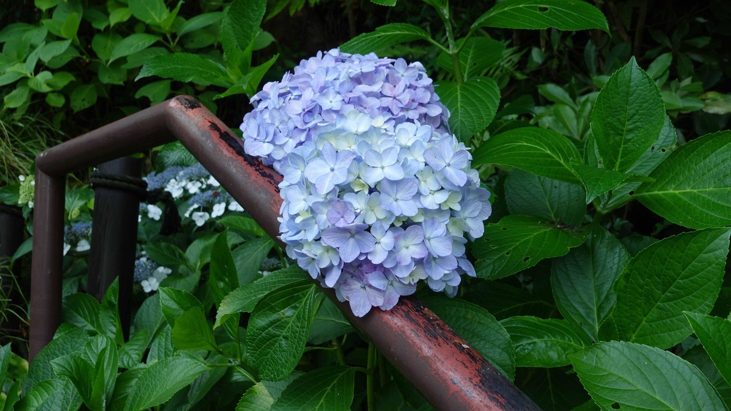 長谷寺 紫陽花 1輪 ブルー