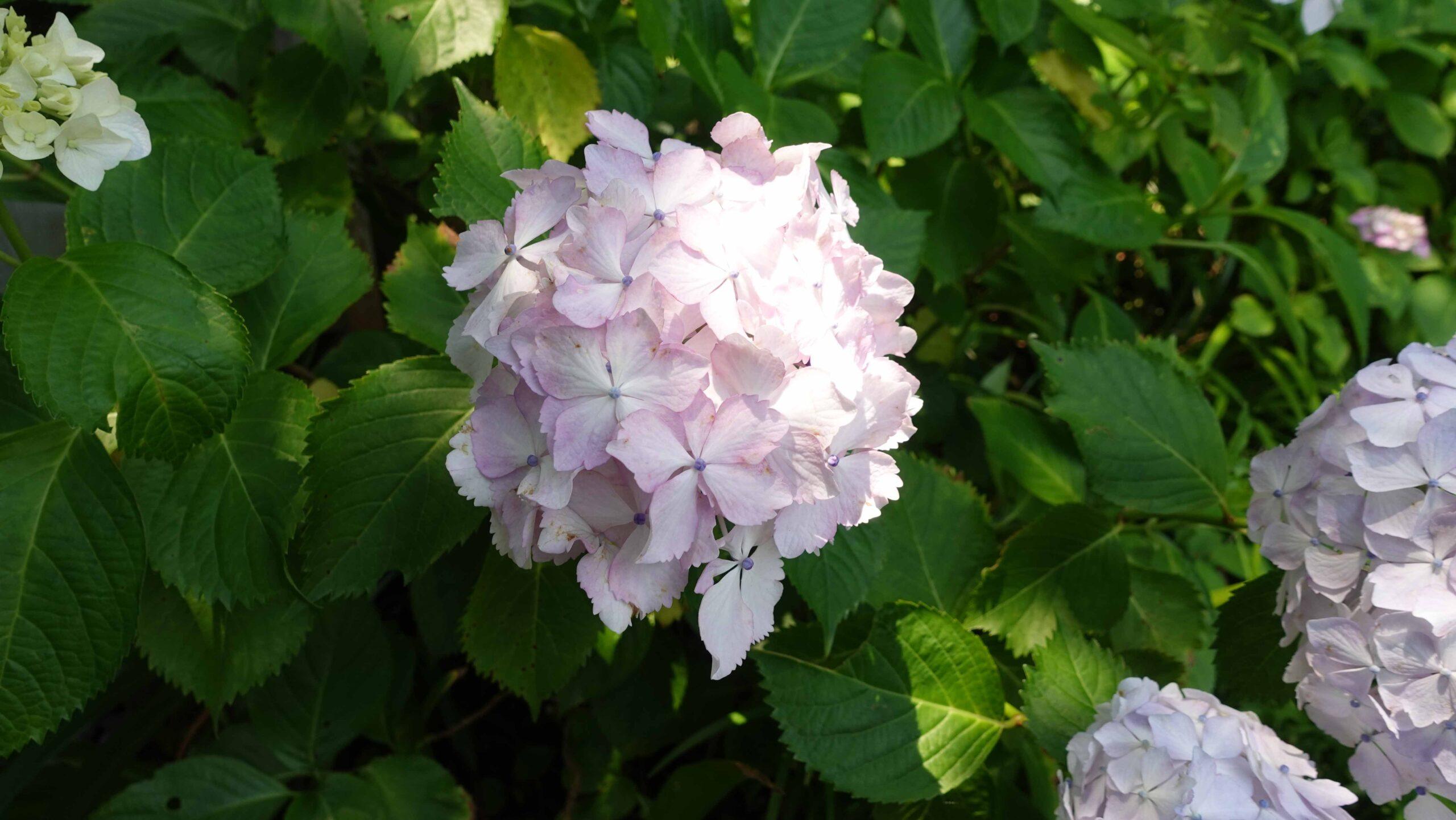 長谷寺 紫陽花 1輪 オフホワイト