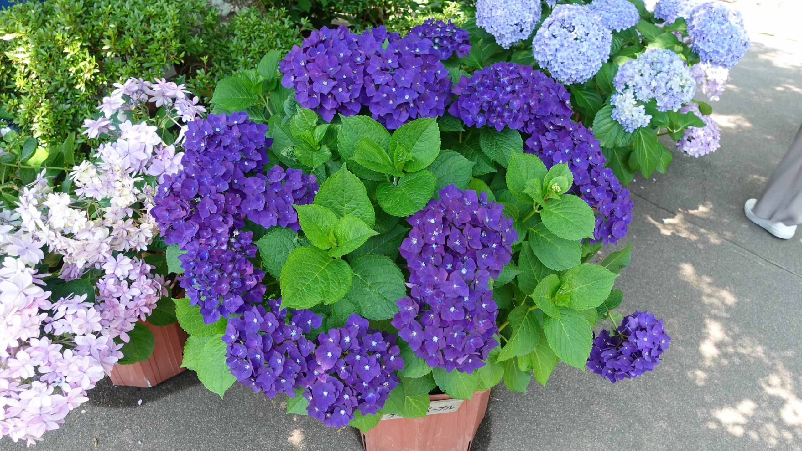 長谷寺 紫 紫陽花