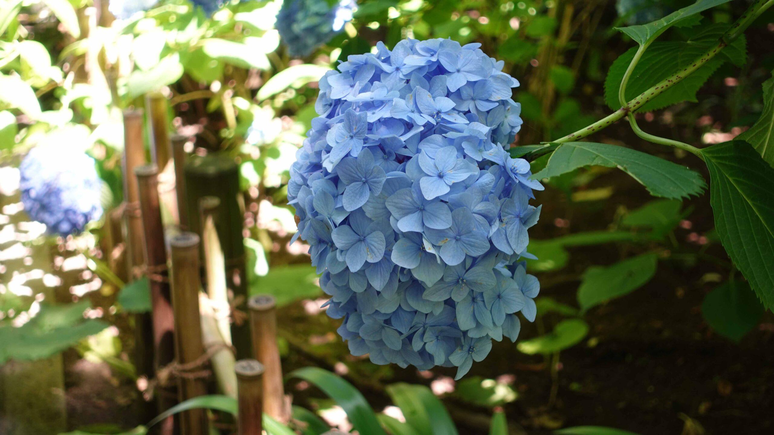 明月院ブルー 01