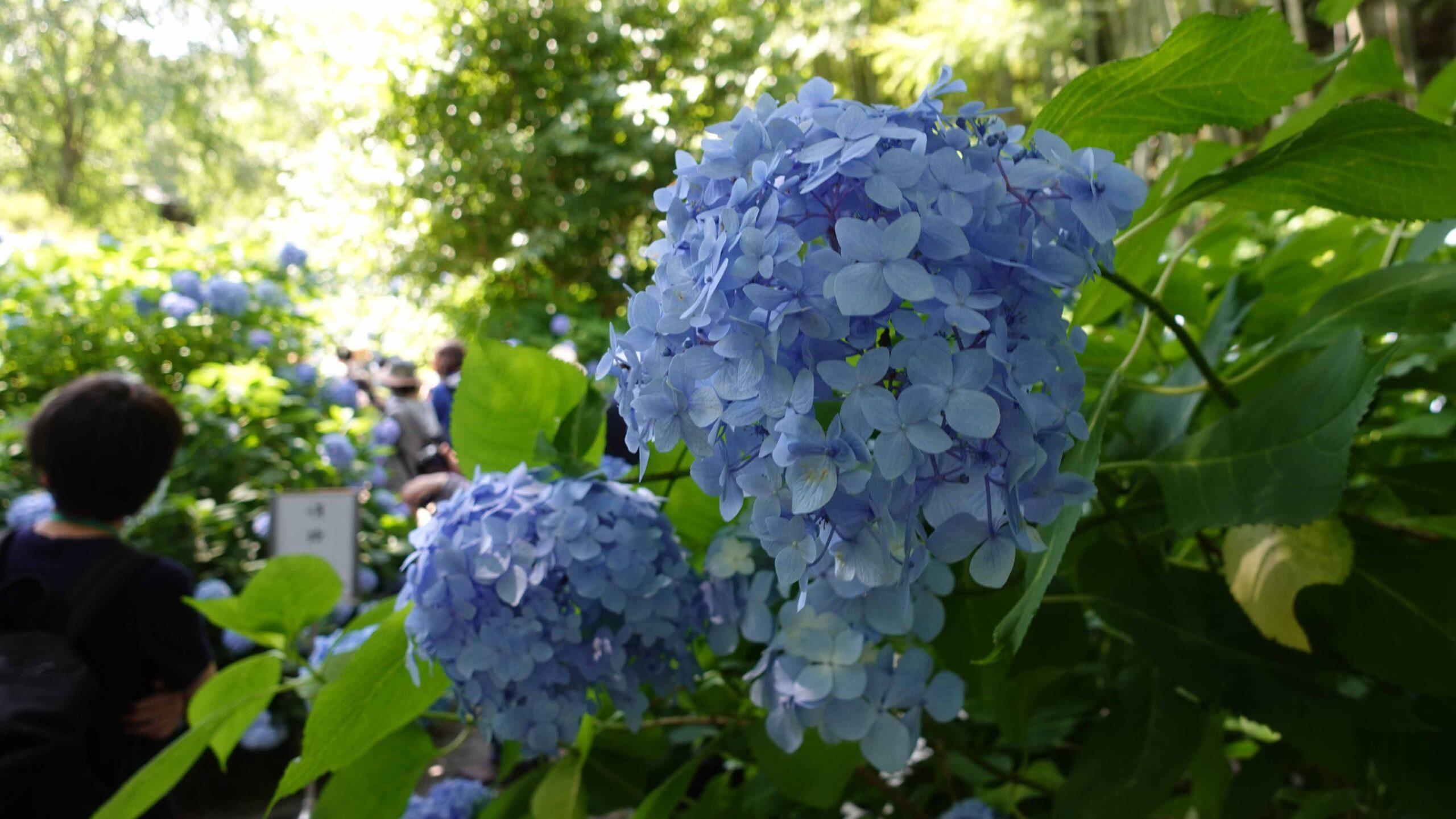明月院ブルー 02