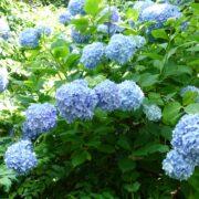 鎌倉明月院 紫陽花