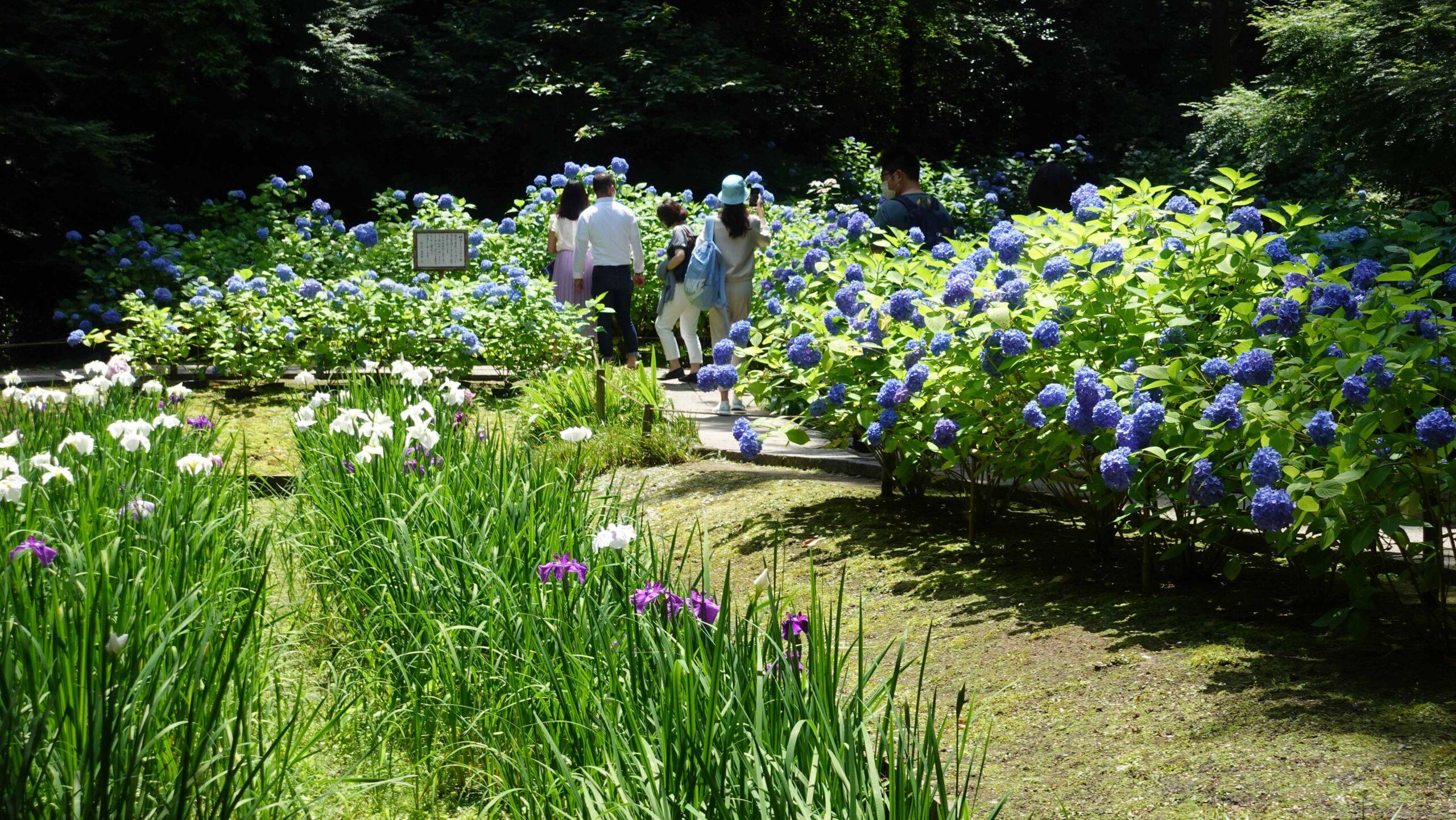 明月院 紫陽花と花菖蒲