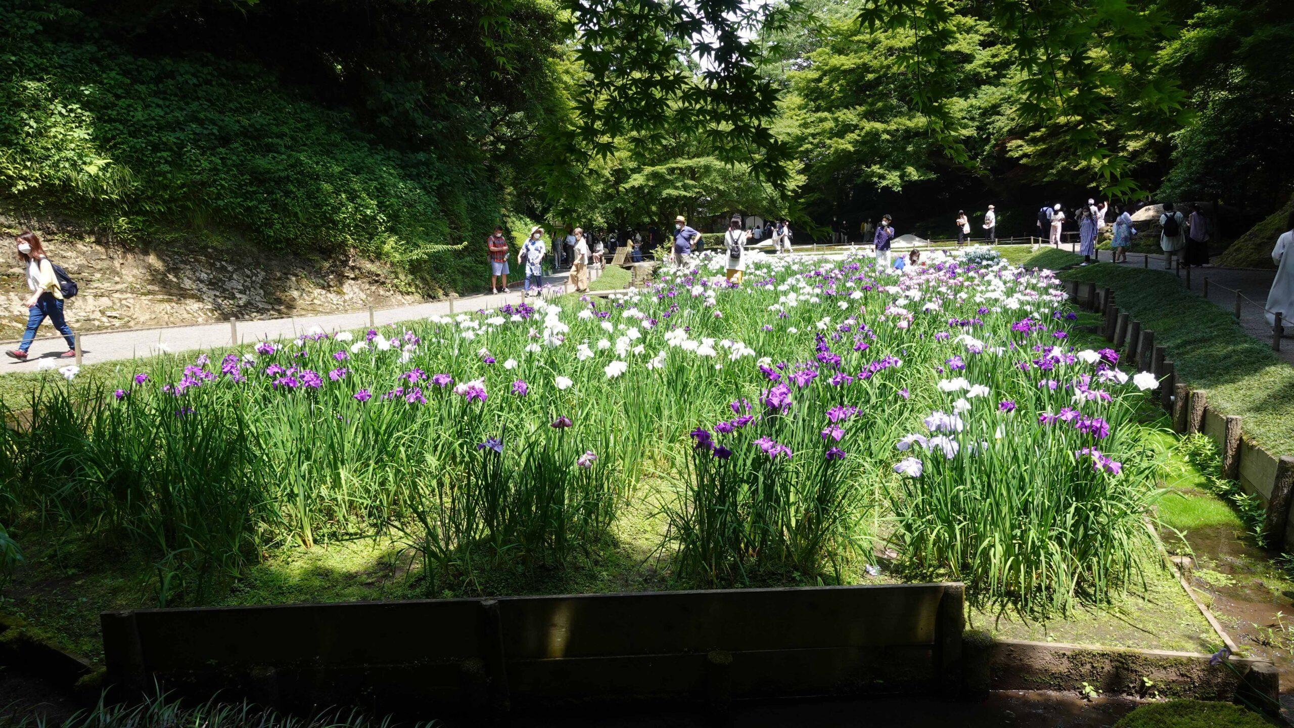 明月院 本堂後庭園 花菖蒲