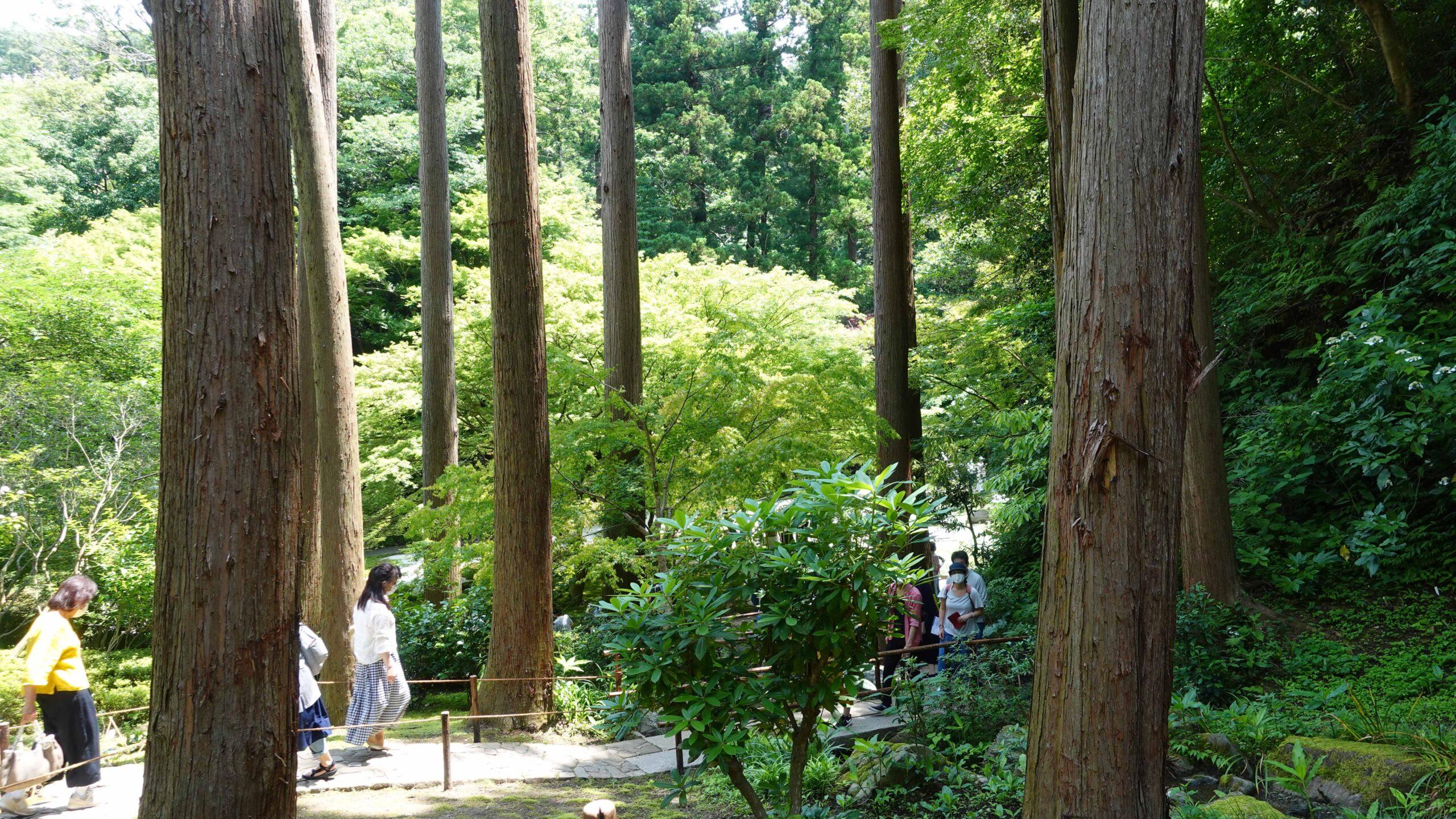 明月院 巨木