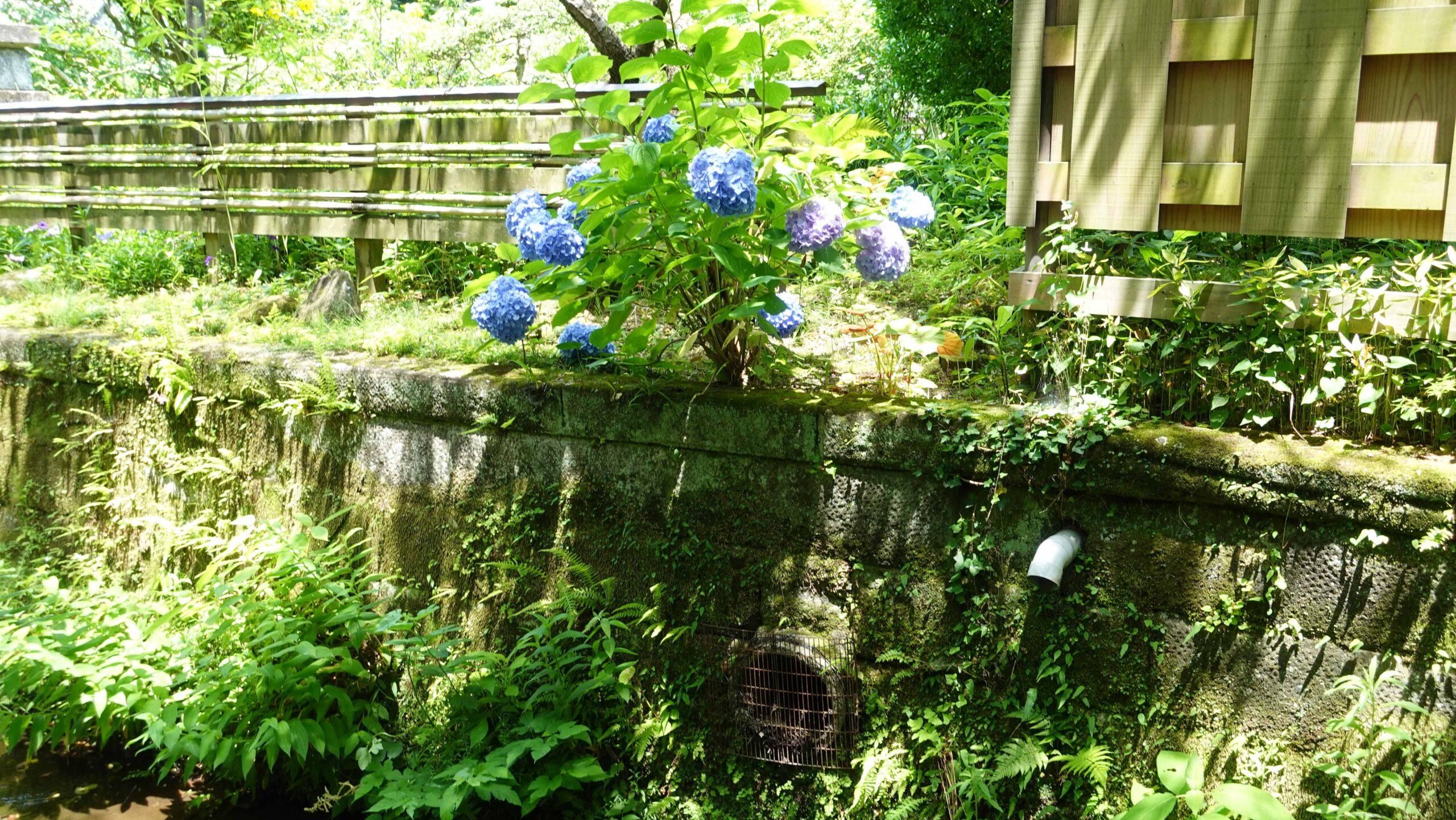 小川沿いに咲く紫陽花