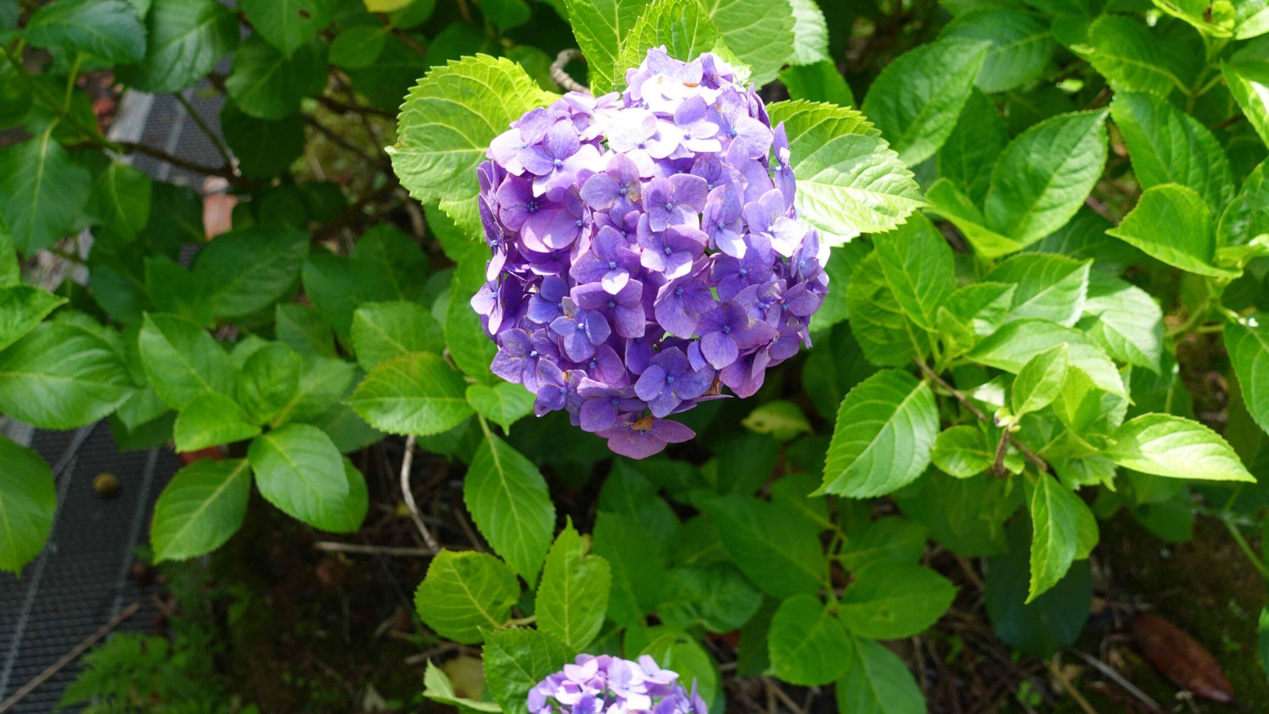 東慶寺 紫陽花 紫