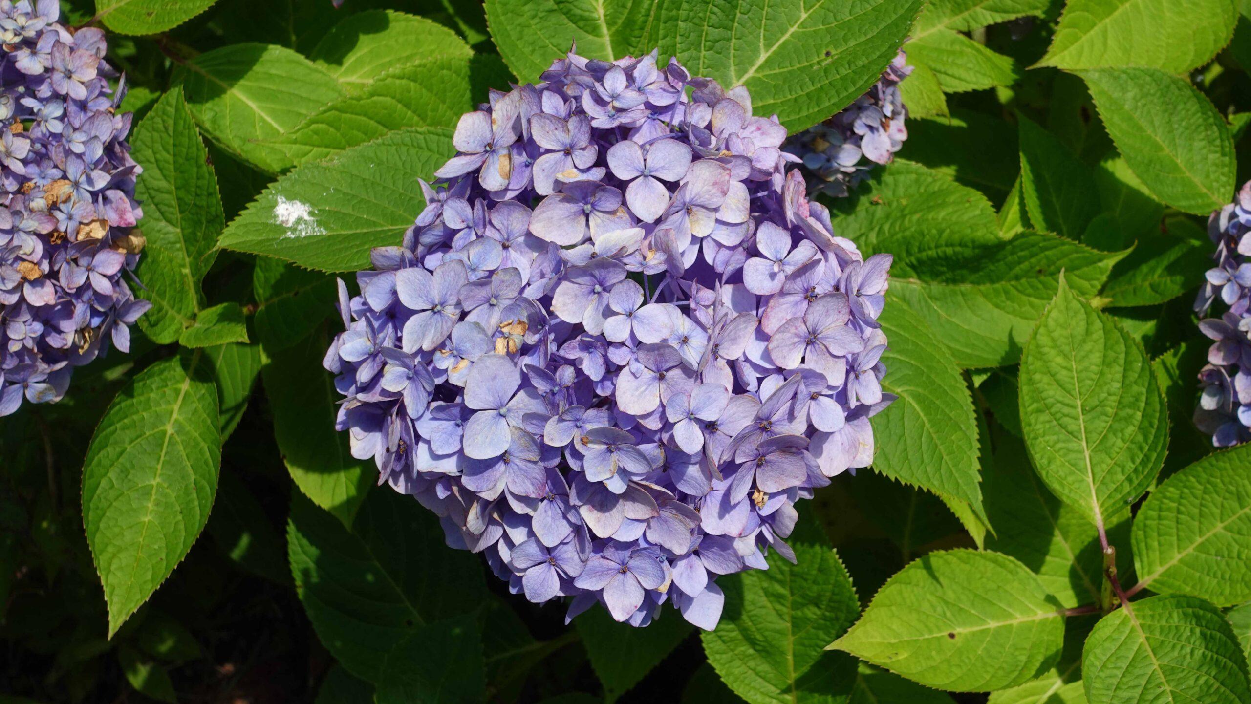 東慶寺 紫陽花 薄紫