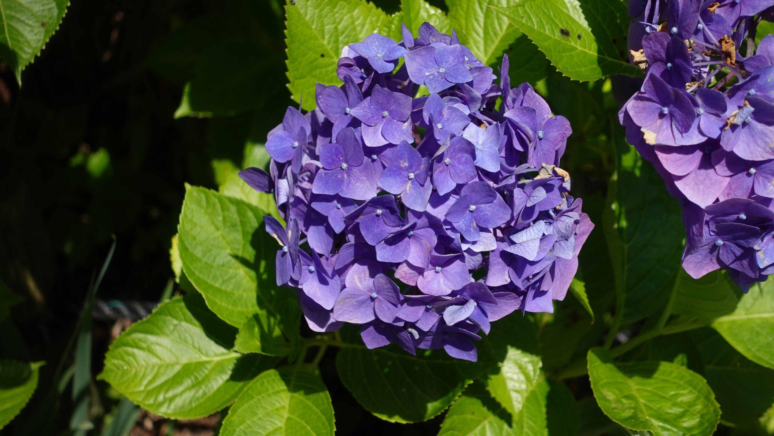 東慶寺 紫陽花 深紫