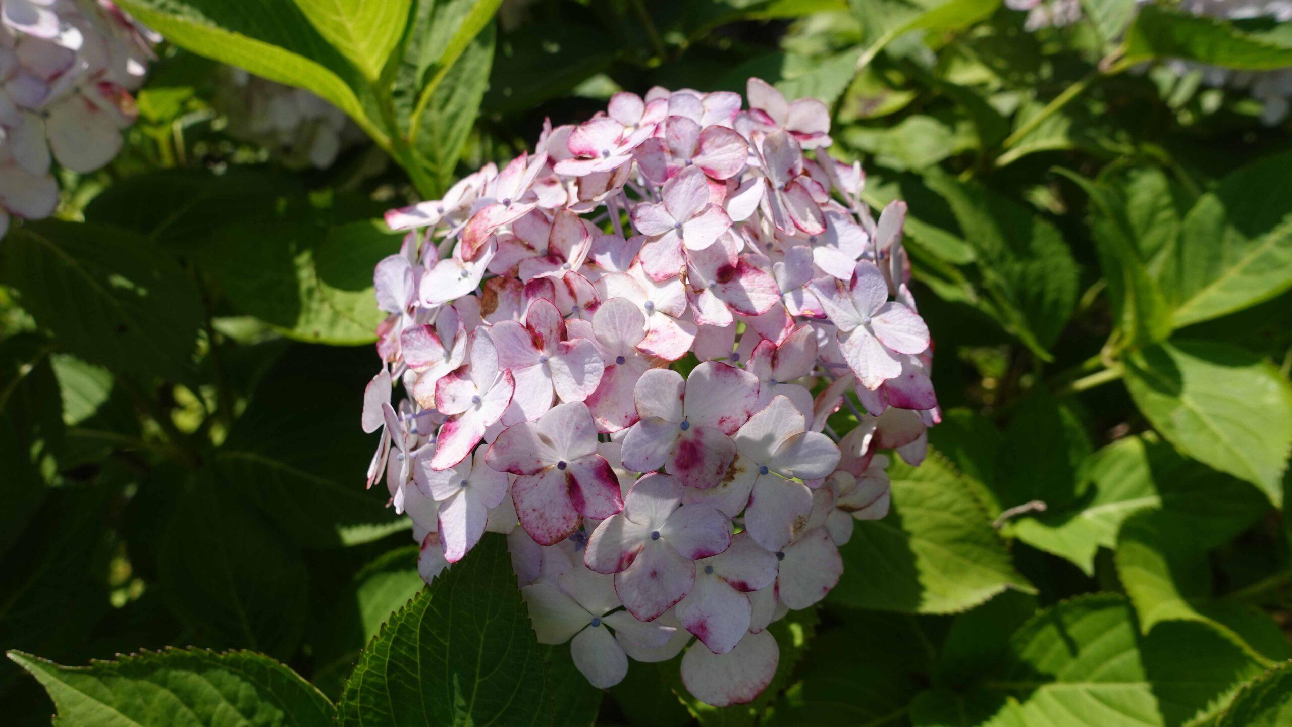東慶寺 紫陽花 オフホワイト