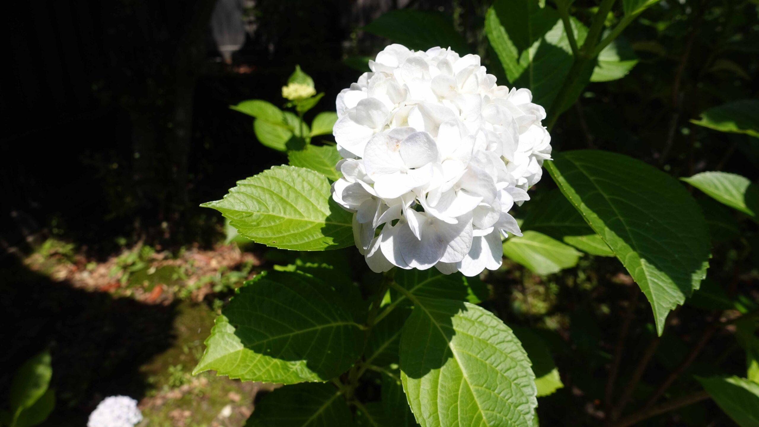 東慶寺 紫陽花 白