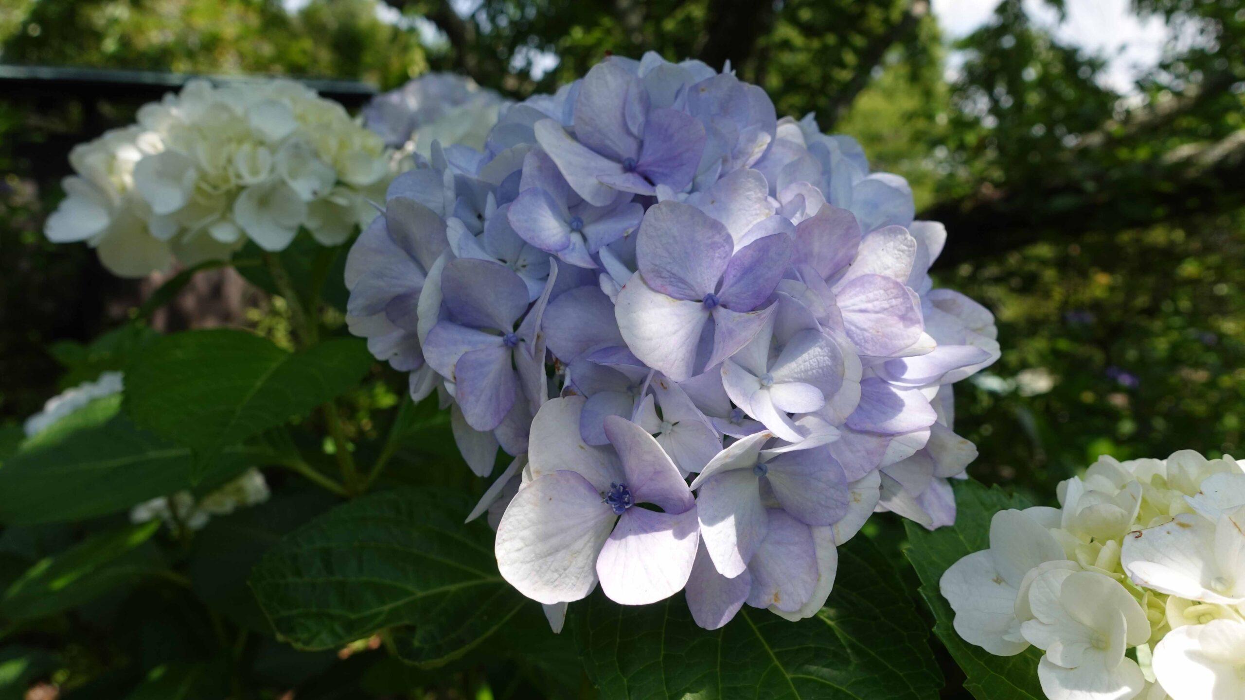 東慶寺 紫陽花 ブルー